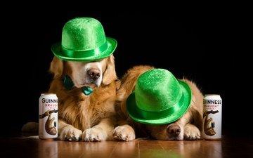 пара, шляпа, собаки, шляпки, золотистый ретривер