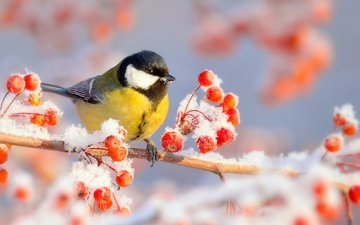 branch, snow, nature, winter, frost, bird, berries, tit