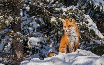снег, лес, зима, лиса