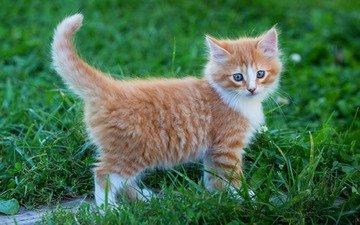 трава, зелень, фон, поза, лето, кошка, взгляд, котенок, прогулка, малыш, рыжий