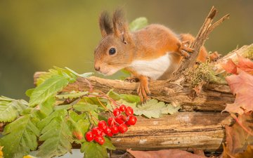 branch, leaves, autumn, berries, animal, trunk, protein, kalina, rodent
