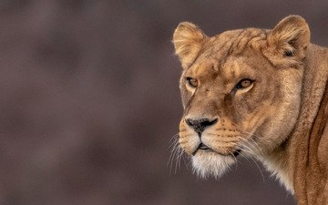 face, background, portrait, look, lioness, wild cat