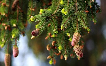 nature, branches, spruce, bumps