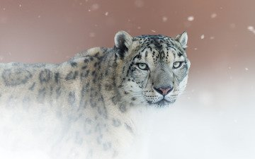 background, portrait, look, snow leopard, irbis, wild cat