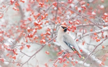 snow, winter, branches, bird, berries, the waxwing
