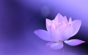 background, flower, lotus, pink, lilac