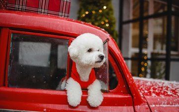 машина, собака, песик, пудель