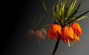 background, petals, plant, the imperial fritillary