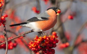 background, autumn, red, bird, berries, fruit, bullfinch, rowan, blurred, meal