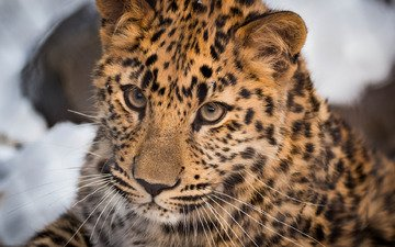 face, portrait, leopard, wild cat