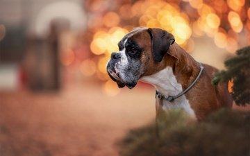 морда, портрет, собака, блики, профиль, боксер