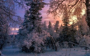 snow, forest, winter, tree