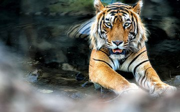tiger, water, pose, look, lies, feline