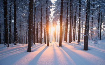 trees, the sun, snow, forest, winter