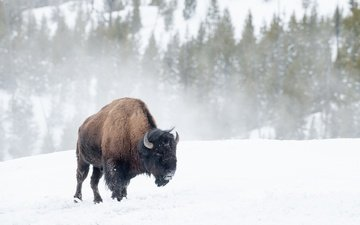 trees, snow, winter, blizzard, buffalo