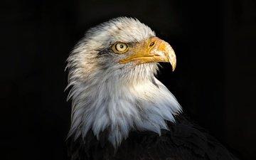 портрет, орел, белоголовый орлан