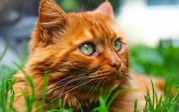 grass, portrait, muzzle, cat, look, red cat