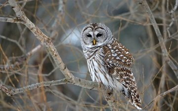trees, owl, nature, branches, bird, bokeh, barred owl