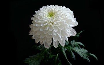 background, chrysanthemum