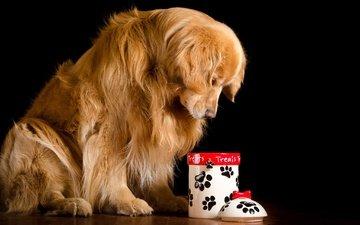 собака, сидит, черный фон, грустный, рыжий, пес, золотистый, банка, ретривер, на полу, крышка