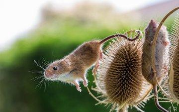 мышь, растение, мышка, чертополох
