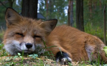look, red, fox, animal, fur