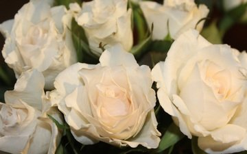цветы, бутоны, розы, лепестки, белые