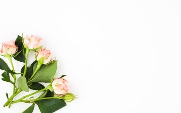 buds, background, roses, white, bouquet