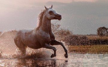 squirt, horse, running