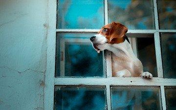 собака, окно, бигль