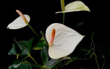 цветы антуриум белые фон черный
