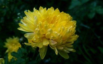 хризантема желтая фон темный