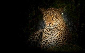 морда, портрет, взгляд, леопард, черный фон, дикая кошка
