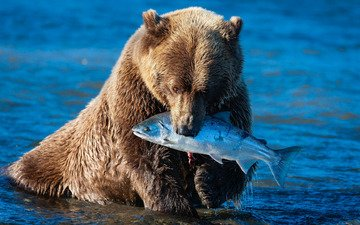 face, river, pose, paws, bear, pond, bathing, fish, fishing, lunch, blue background, mining, brown