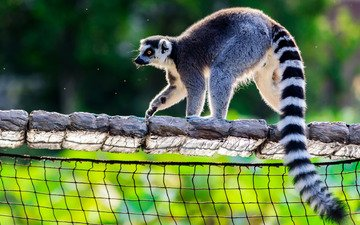 light, background, pose, mesh, zoo, lemur