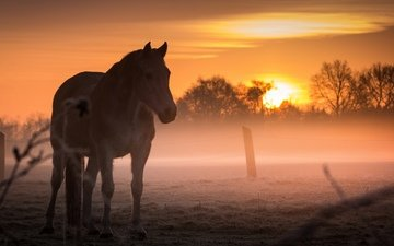 horse, sunset, field