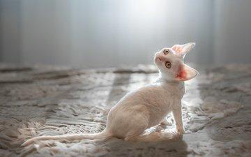 мордочка, взгляд, белый, ушки, корниш-рекс