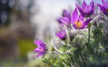 цветы, природа, весна, сон-трава