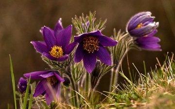 макро, весна, сон-трава