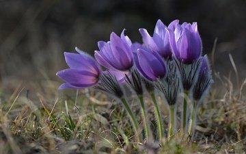 весна, подснежники, сон-трава, прострел