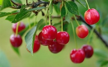 summer, red, garden, cherry