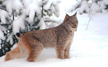 snow, lynx
