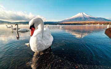 snow, sunset, mountain, swan, lake, dawn