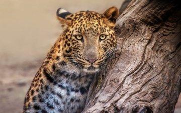 морда, природа, дерево, портрет, леопард