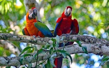 дерево, пара, попугаи