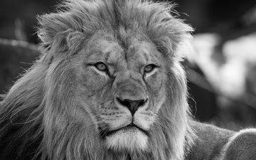морда, портрет, взгляд, лев, грива, дикая кошка, монохром, царь зверей