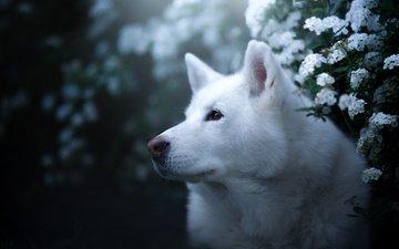 face, portrait, look, dog, husky, flowers, bokeh