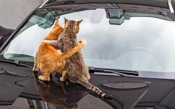 авто, спина, кошки