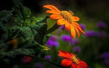 цветы, листья, лепестки, боке, титония