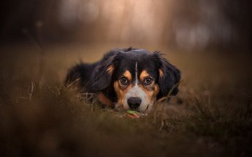 face, look, dog, bokeh